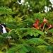 Spot The Blue-faced Honeyeater ~