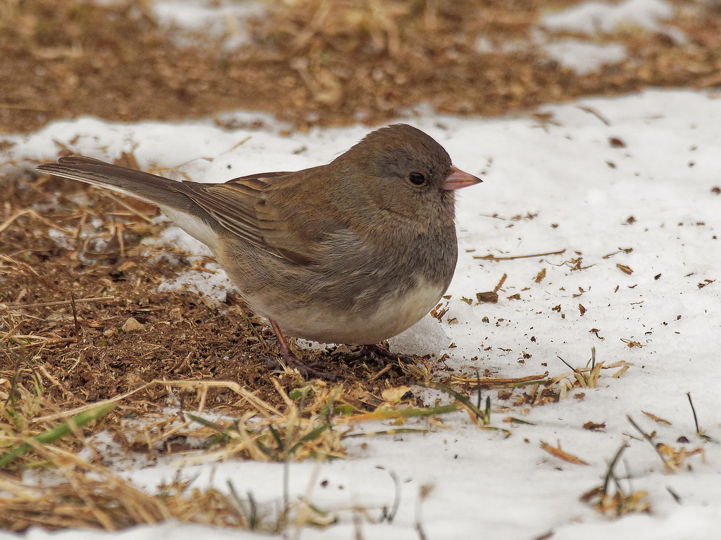 Dark-eyed junco in the snow by rminer