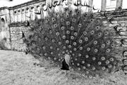 15th Feb 2020 - Peacock think it's Spring!
