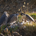 Mom Peregrine Falcon Feeding Babies