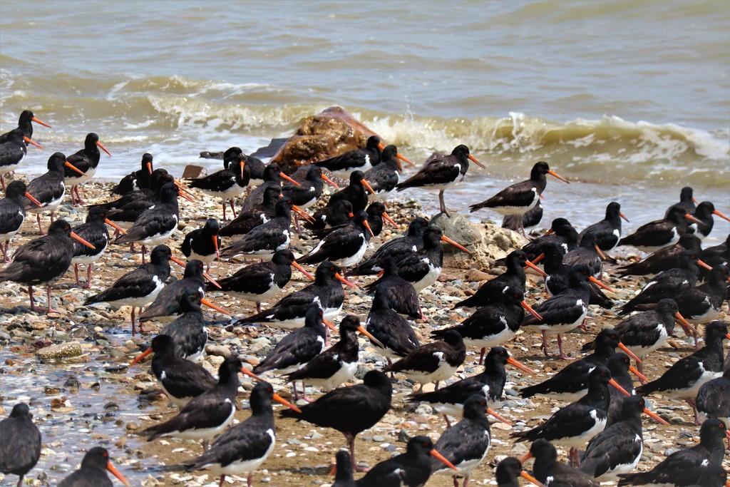 Oyster Catchers en masse by sandradavies