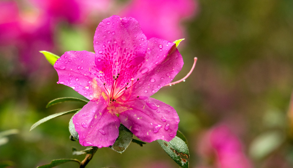 Flower After the Rain! by rickster549