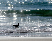 15th Feb 2020 - Sandpiper in the Sparkling Sea