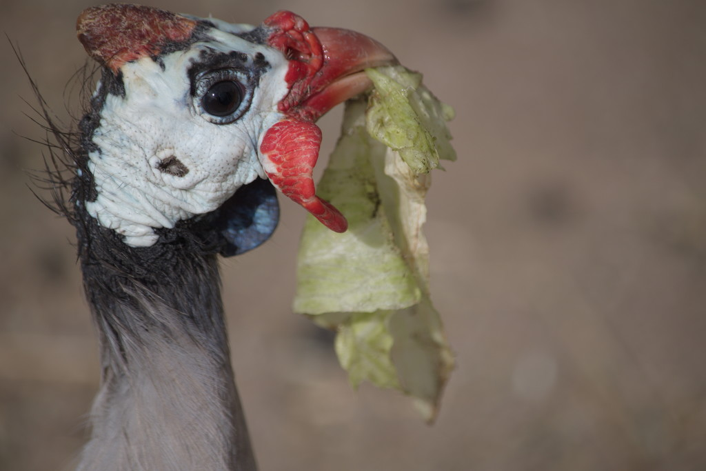 February Series - A month of Guinea Fowl (16) by kgolab