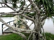 16th Feb 2020 - Twisted Pandannis Tree