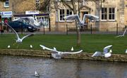 8th Feb 2020 - Flighty gulls