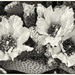Spring Cactus Blooms in Black and White