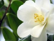 16th Feb 2020 - White Camellia
