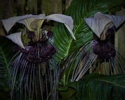 17th Feb 2020 - Tacca Chantrier – Black Bat Plant ~