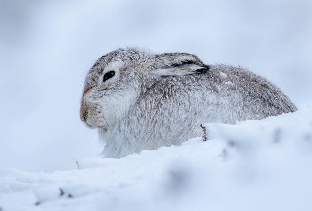 Mountain Hare by shepherdmanswife