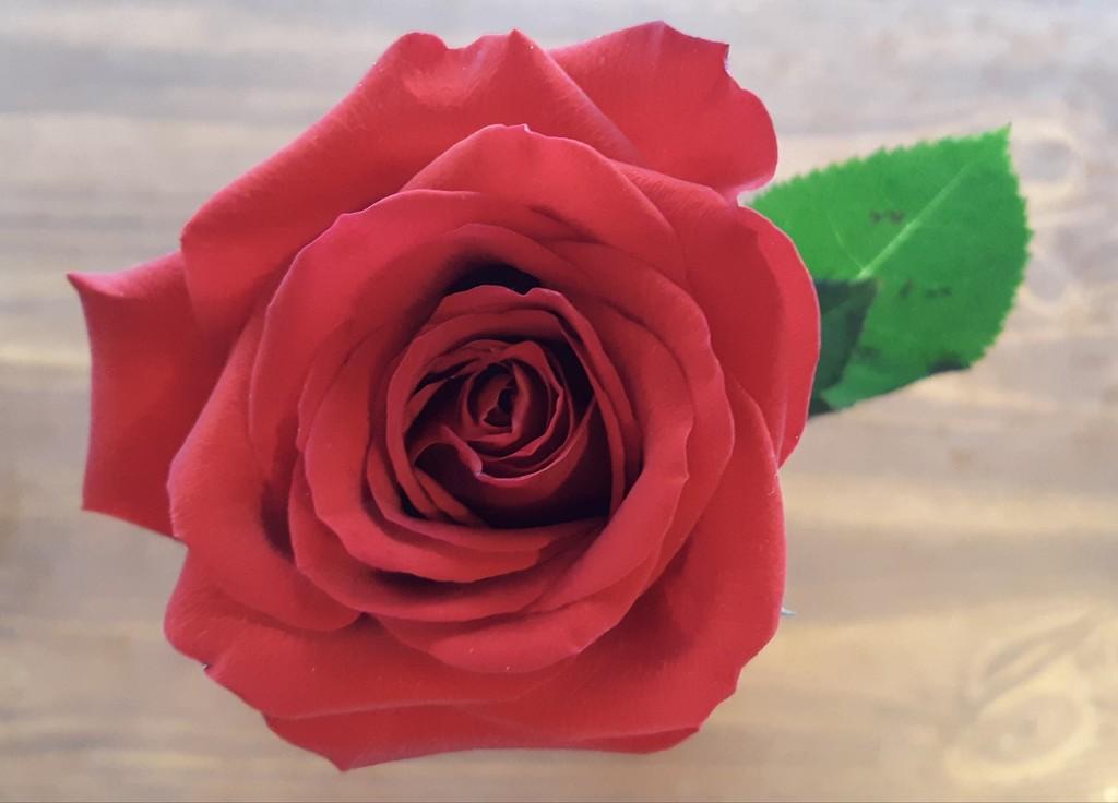 Valentine's Rose  by julie