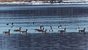 16th Feb 2020 - geese and goldeneyes