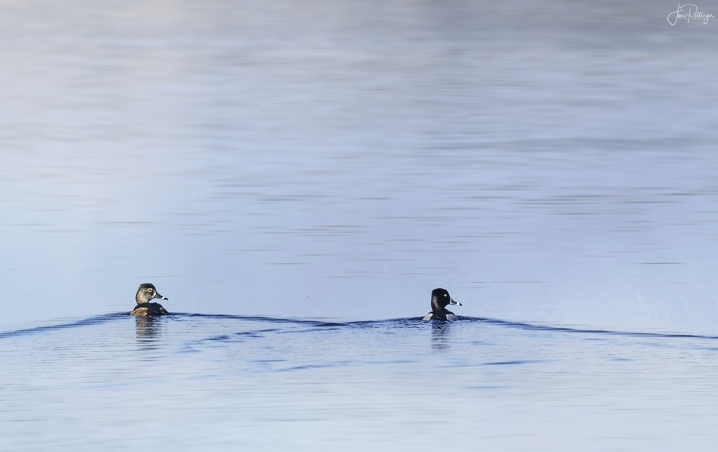 Ring Necked Diving Ducks Coupled Up by jgpittenger