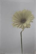 16th Feb 2020 - Gerbera Daisy
