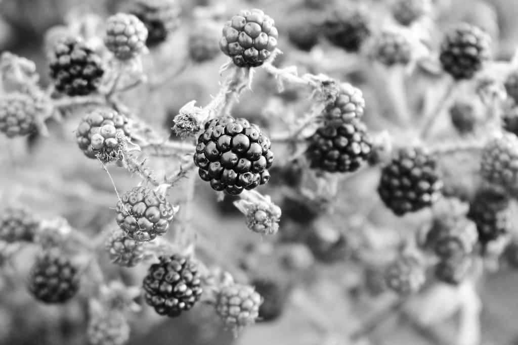 black berry by wenbow