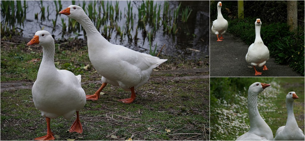 the geese of South Pond by quietpurplehaze