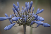17th Feb 2020 - Agapanthus