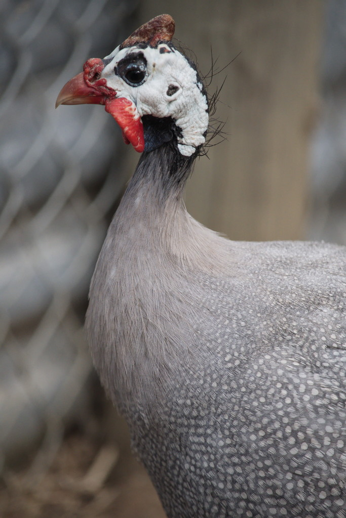 February Series - A month of Guinea Fowl (17) by kgolab