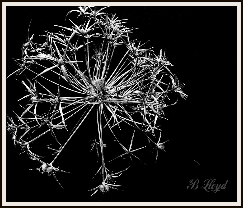Allium Seedhead by beryl