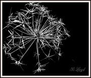 17th Feb 2020 - Allium Seedhead