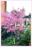 17th Feb 2020 - Flowering cherry
