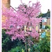 Flowering cherry  by beryl