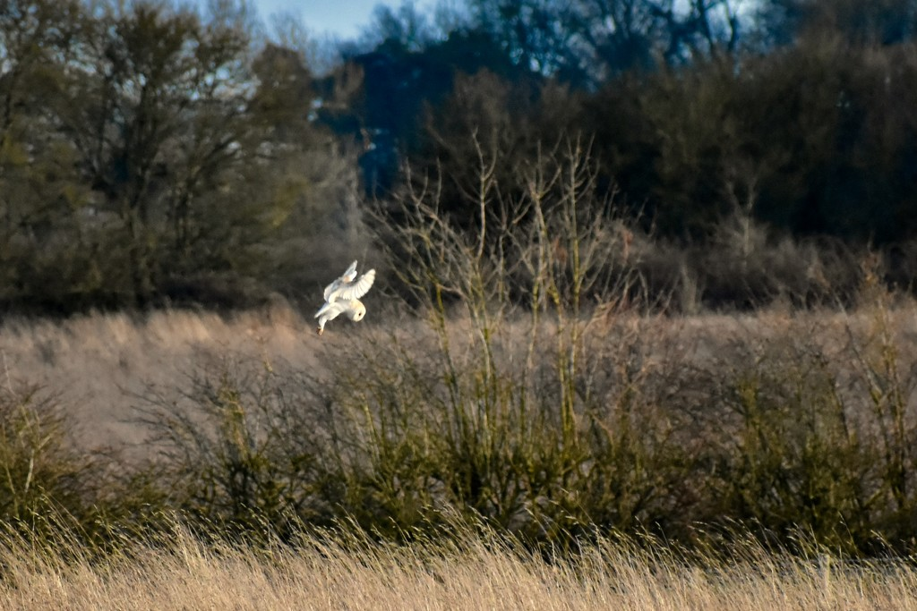 Barn Owl in Action! by helly31