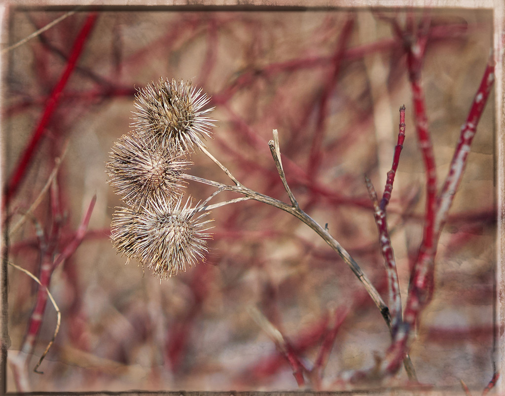 Burrs and Red Branches by gardencat