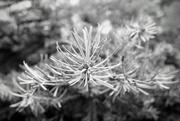 17th Feb 2020 - Christmas tree decay B&W