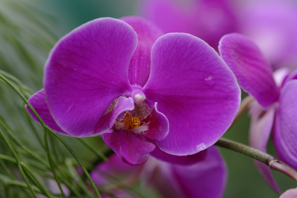 Pink Orchid by rminer