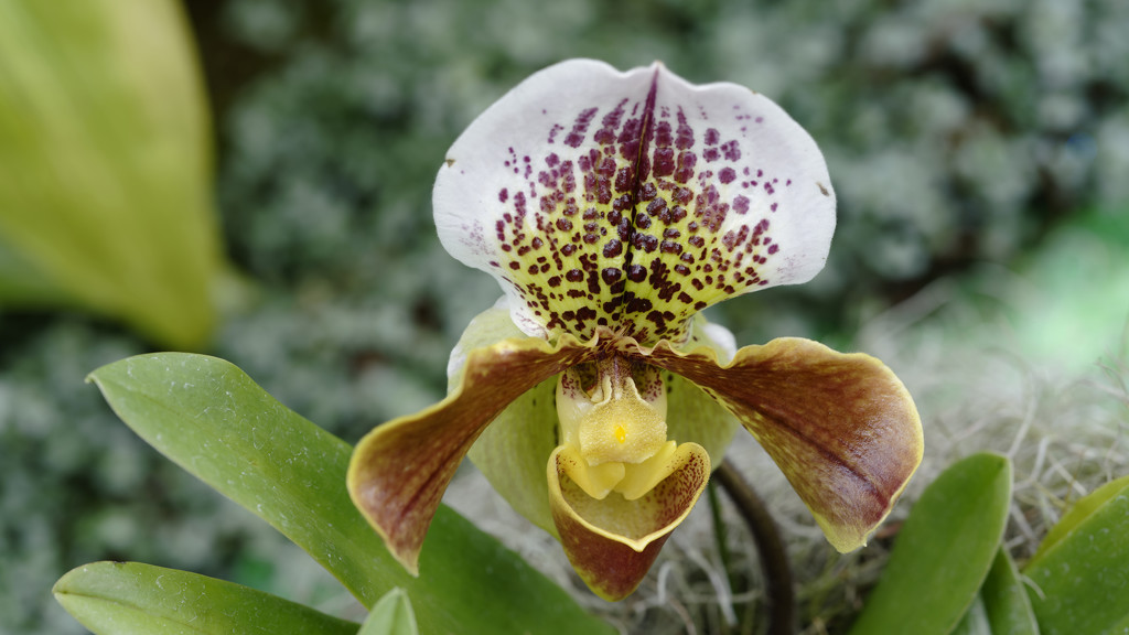 Lady Slipper Orchid by rminer