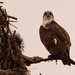 The Osprey Was Back at the Nest!