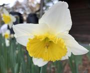 17th Feb 2020 - Daffodil bokeh
