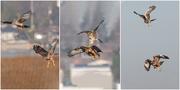 8th Feb 2020 - Harrier-Hawk Aerial Combat