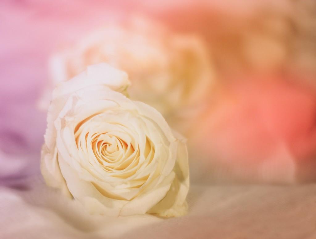 White Rose by judyc57