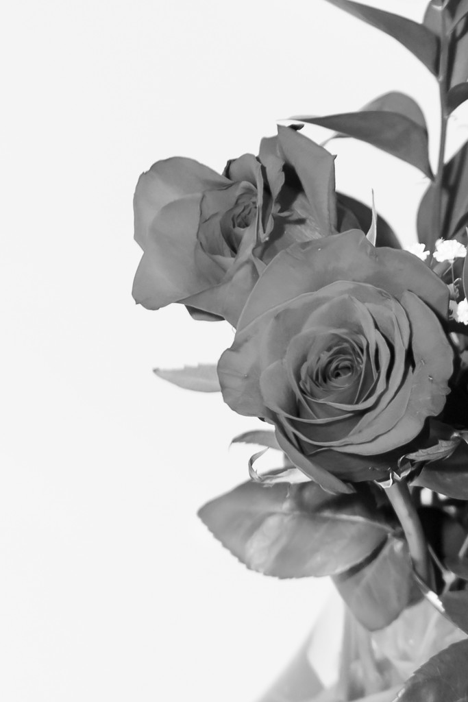 Roses in black and white by jnorthington