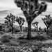 Trees of Joshua Tree National Park