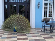 17th Feb 2020 - Peacock