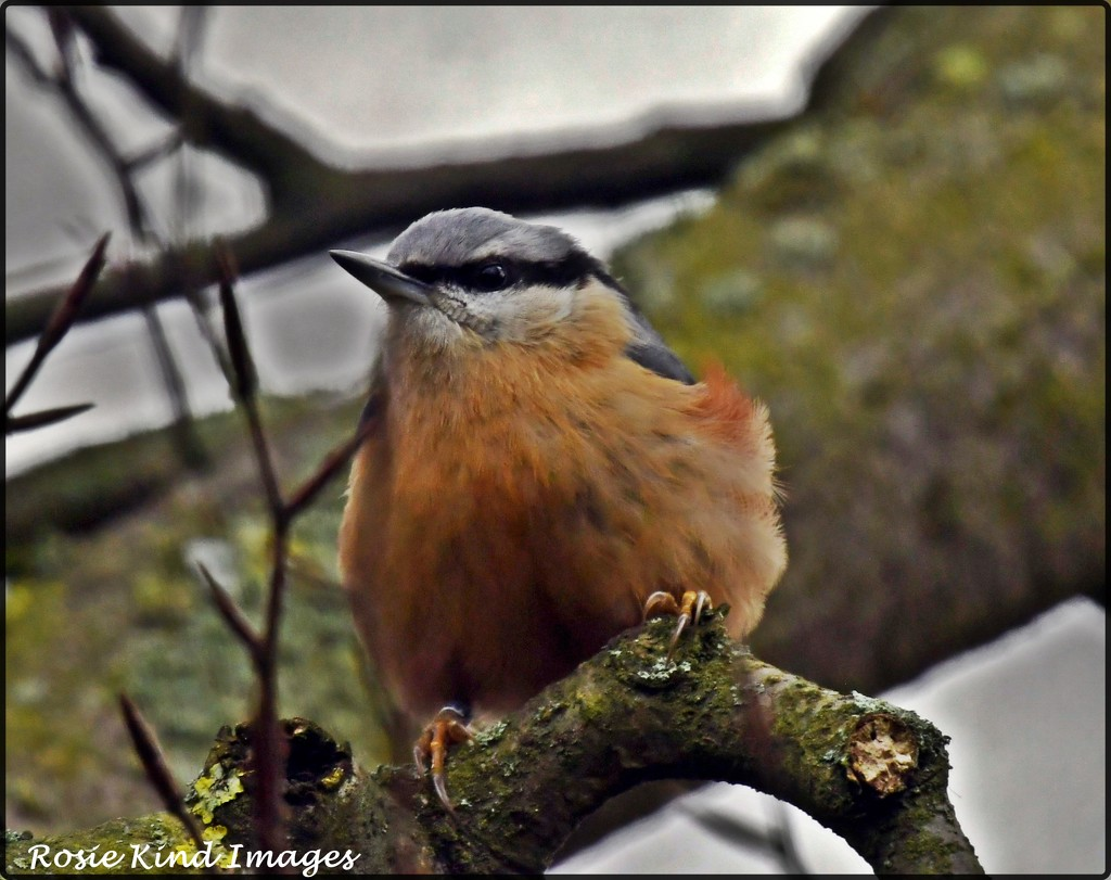 Nuthatch at RSPB by rosiekind