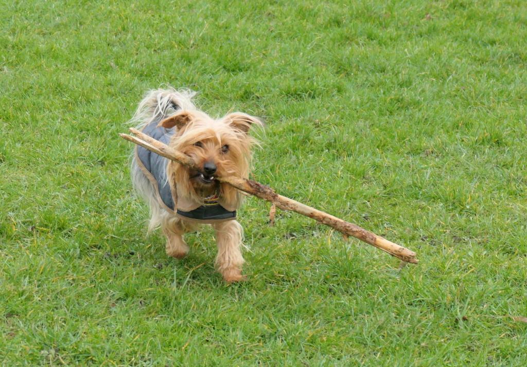 Tilly's big stick  by jesika2