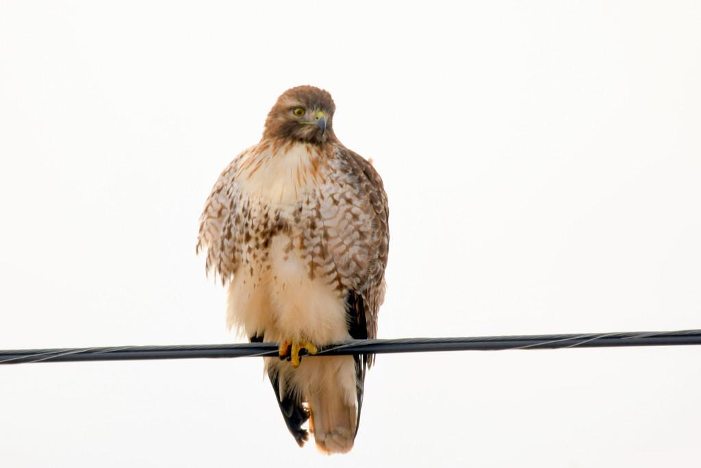 Juvenile Hawk by kareenking