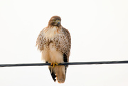 11th Feb 2020 - Juvenile Hawk