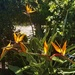 Strelitzia or Bird of Paradise Flowers ~