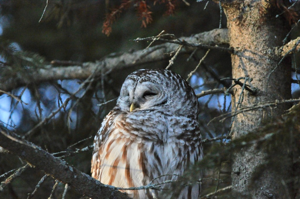 Barred Owl by frantackaberry