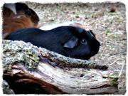 18th Feb 2020 - I Wish I Could Be a Guinea Bear v/a a Guinea Pig