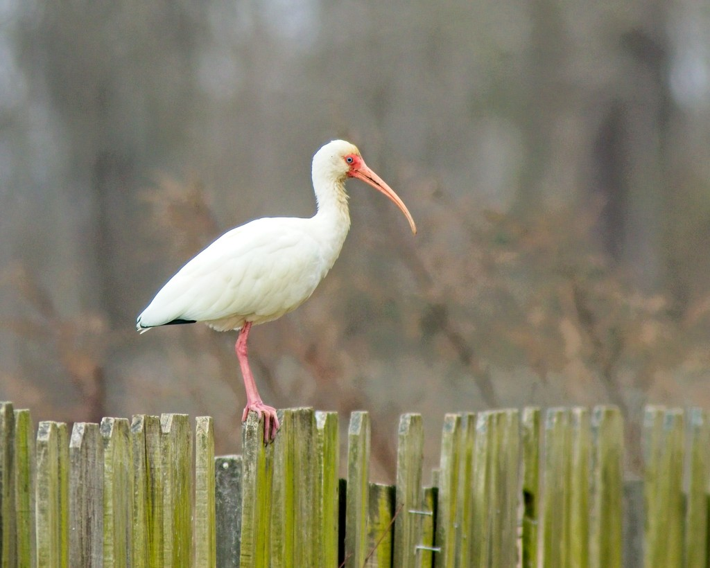 LHG_0145 Ibis on the fence by rontu