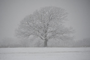 12th Feb 2020 - Snow Tree
