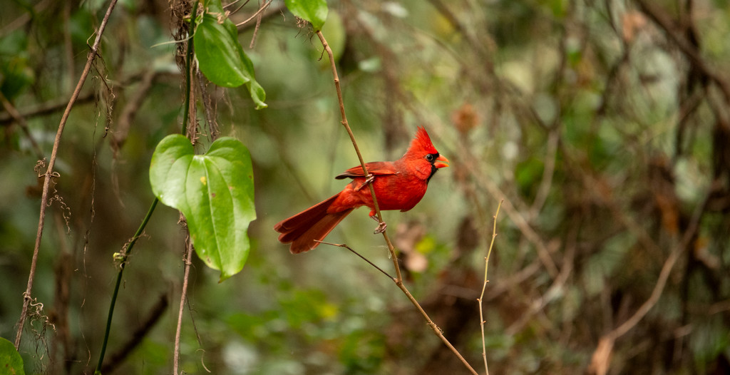 Mr. Cardinal Chasing the Lady Cardinal! by rickster549