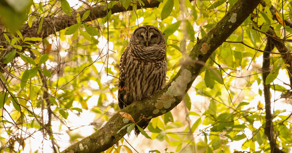 Barred Owl Hanging Out! by rickster549