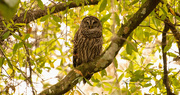 18th Feb 2020 - Barred Owl Hanging Out!